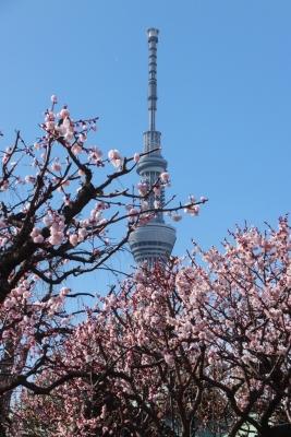140310梅の花とスカイツリー(亀戸天神)