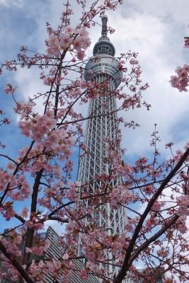 140310河津桜とスカイツリー(スカイツリータウン)