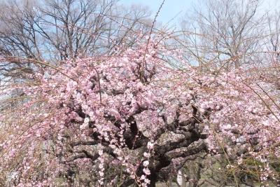 140315大阪城公園梅園④