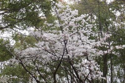 140329大阪城公園のサクラ③
