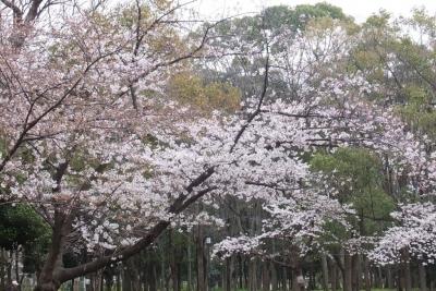140329大阪城公園のサクラ②