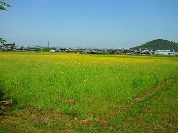 FujiwaraNanohana_005_org.jpg
