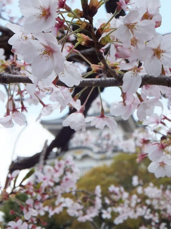 KishiwadajoSakura_000_org.jpg