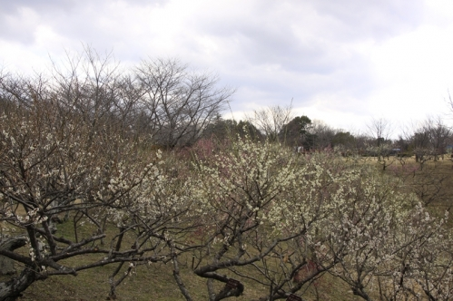 南部丘陵公園梅林