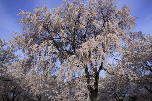 大草城址公園桜
