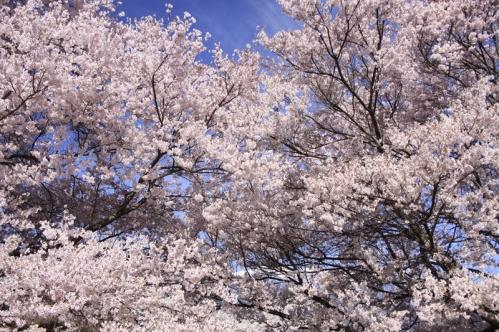 アルプスと桜2