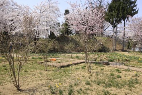 飯山城址公園水仙と桜