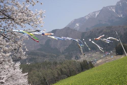 桜、菜の花、鯉のぼり