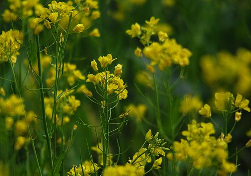 菜の花2014
