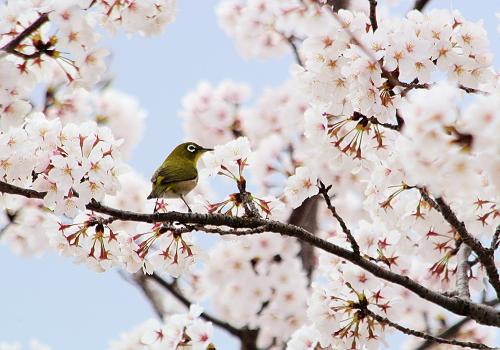 桜メジロtb1