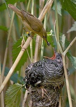 托卵 自分より大きいカッコウの雛に餌を与えるオオヨシキリ