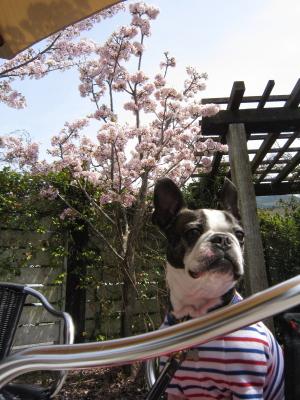 桜を追って出掛けます