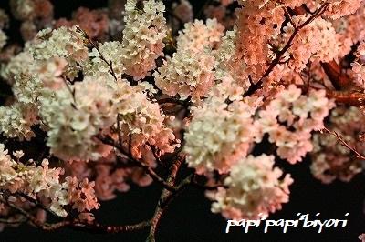 夜桜@お散歩