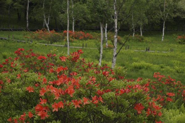 れんげ躑躅と白樺の湿原