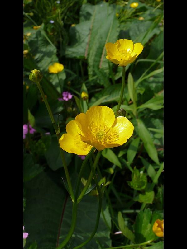 ウマノアシガタ似 花