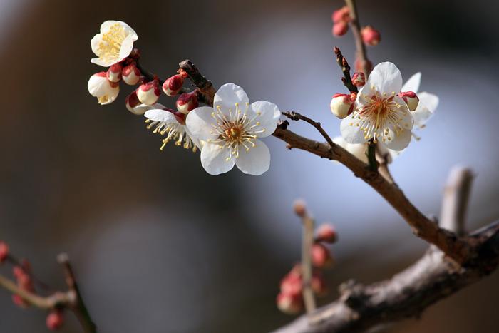 花便り 梅1