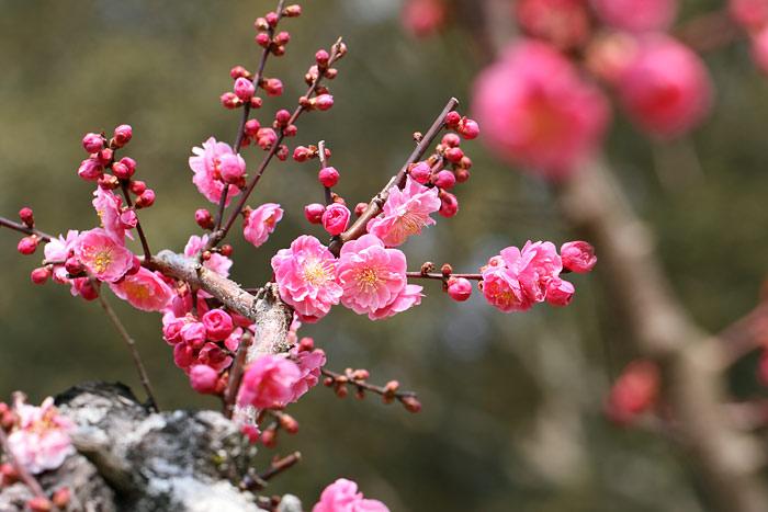花便り 梅2