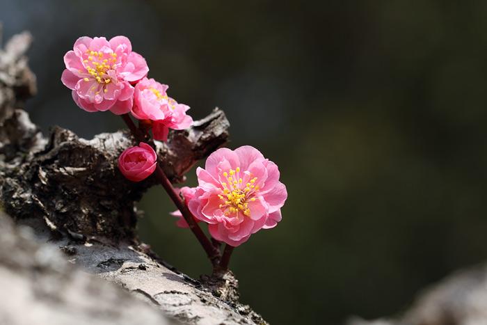 花便り 梅3