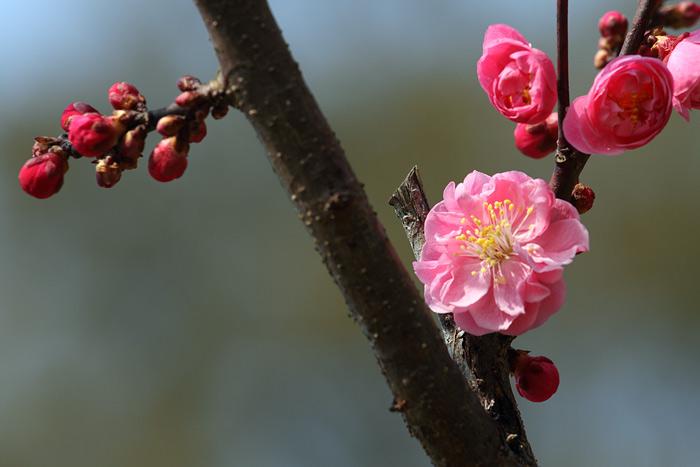 花便り 梅4