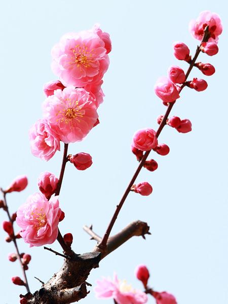 花便り 梅5