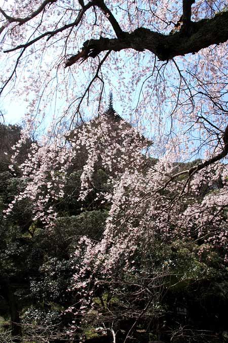 護念院 枝垂桜1