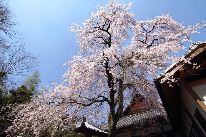 護念院 枝垂桜2