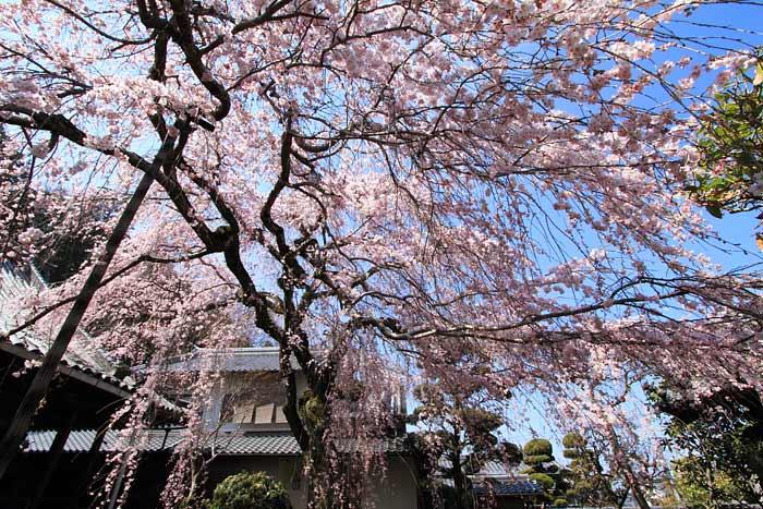 専称寺 枝垂桜3