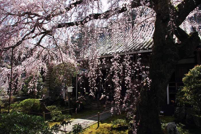 専称寺 枝垂桜2