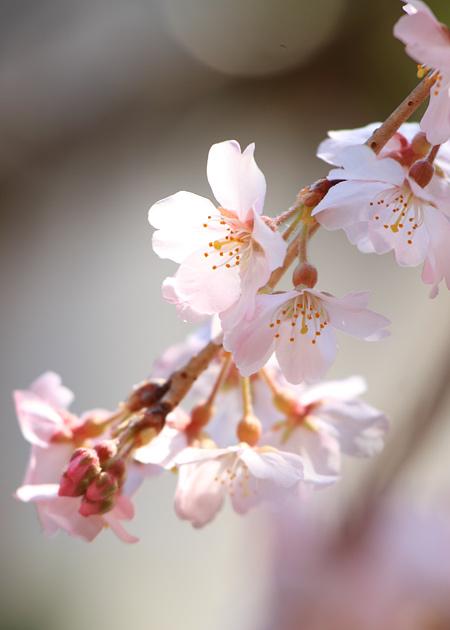 専称寺 枝垂桜4
