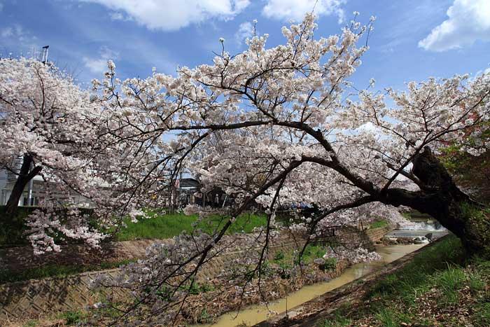 佐保川 桜並木3
