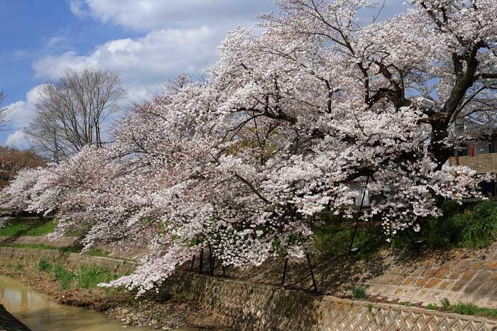 佐保川 桜並木1
