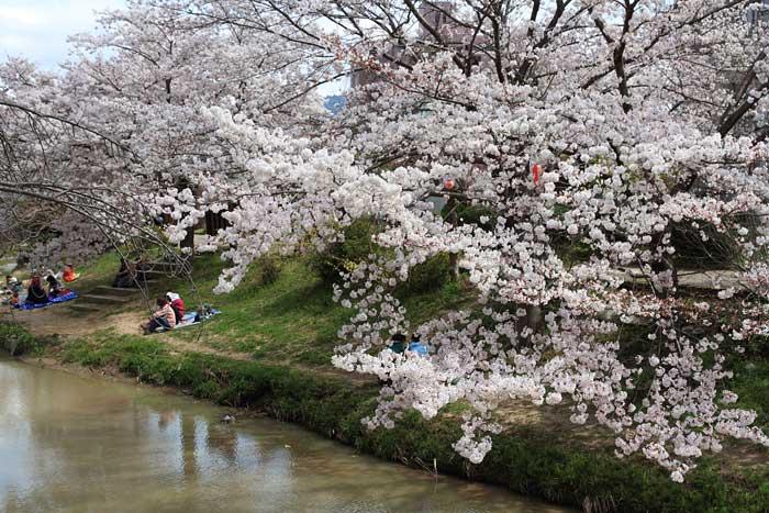 佐保川 桜並木4