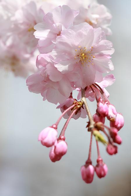 佐保川 桜並木8