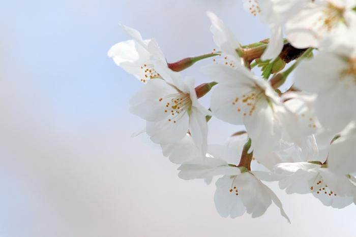 佐保川 桜並木5