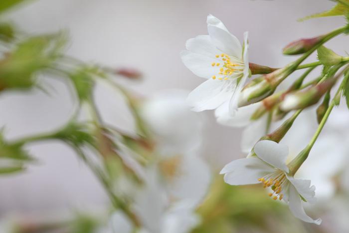 佐保川 桜並木6