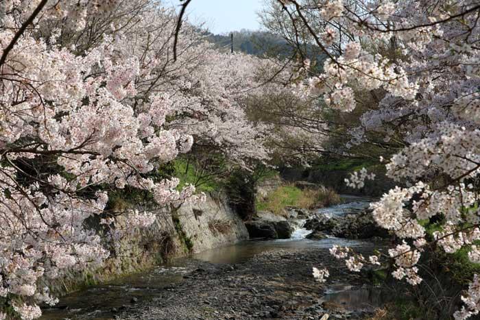 明日香 桜2