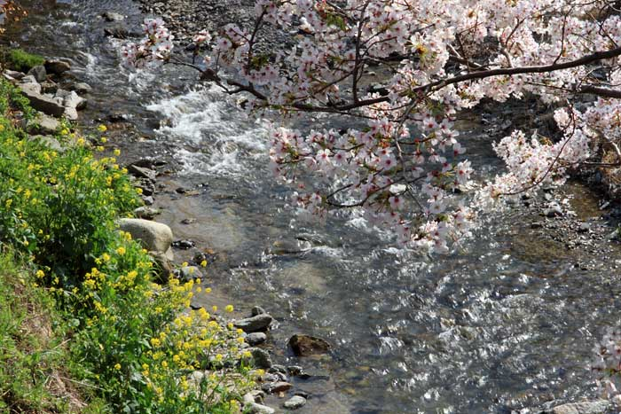 明日香 桜3