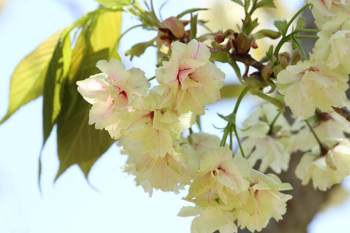 花便り ウコン1