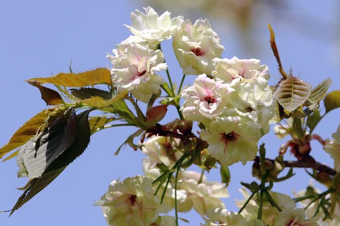 花便り ウコン2