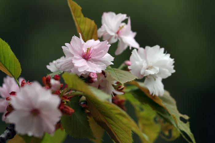奈良の八重桜3