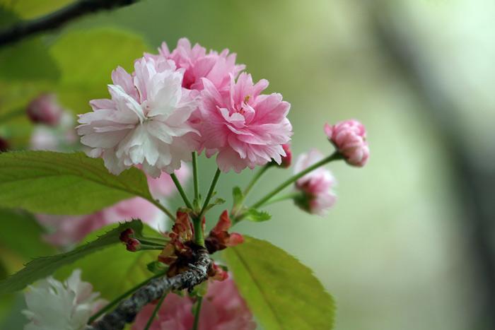 奈良の八重桜4