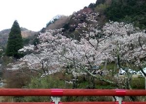 塩江 桜3