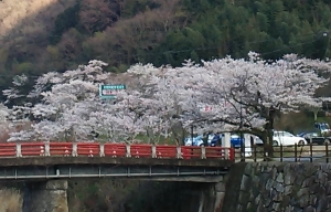 塩江 桜2
