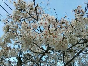 塩江 桜4