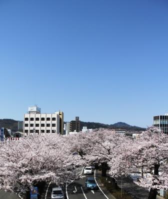 140407hitasakura1.jpg