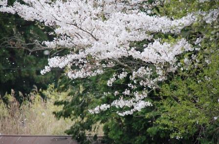 140411sakura1.jpg