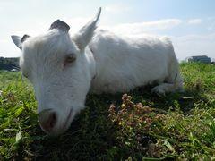 [写真]寝そべりながら、こちらを見つめるヤギのアラン