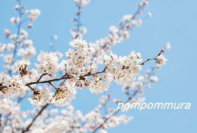 桜2014-1