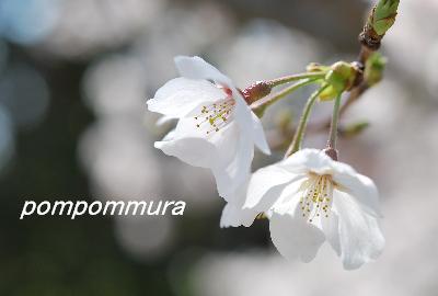 桜2014-3