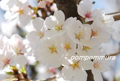 桜2014-4